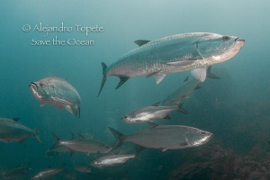 Tarpon's in Xcalac, Xcalac Mexico by Alejandro Topete 
